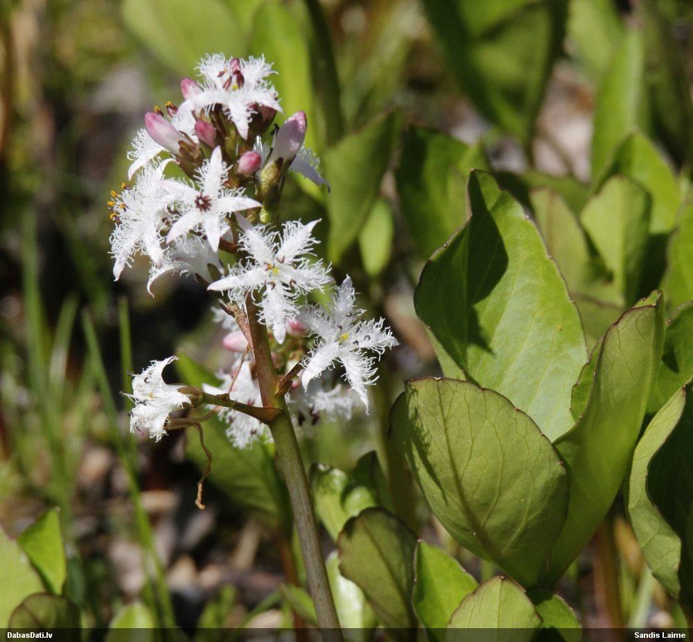Вахта трехлистная: применение для лечения, фото и описание травы