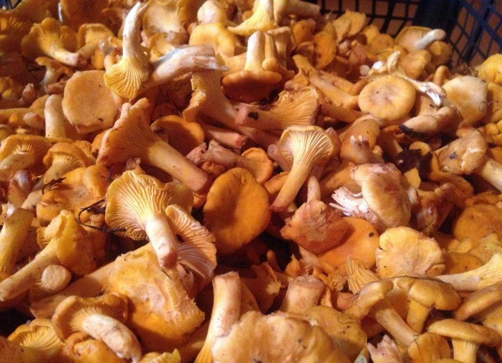 Для чего принимают грибы лисички. можно ли есть сырые лисички? польза и вред для человека