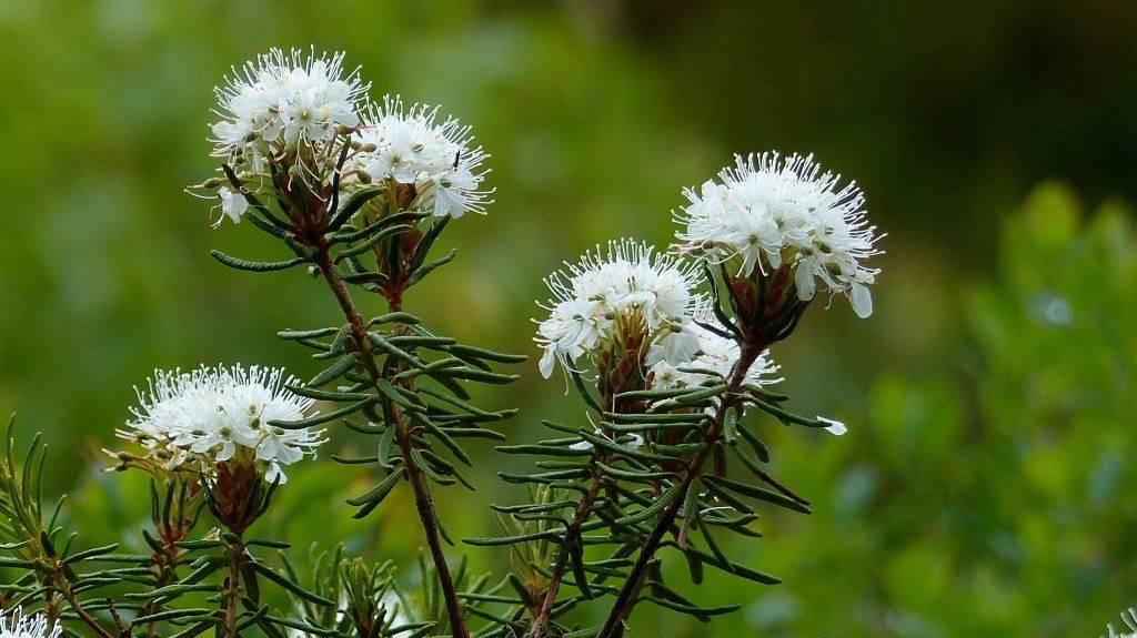Трава багульник в народной медицине от кашля