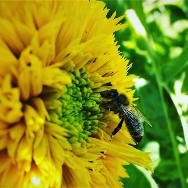 Подсолнечный мед – все про пользу этого продукта пчеловодства в одной статье
