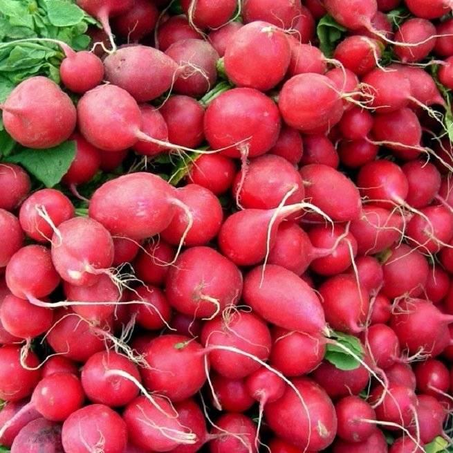 Целебные свойства белой и красной редиски. польза и вред овоща для организма