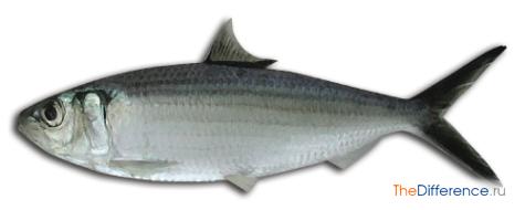 Сардины: какая это рыба
