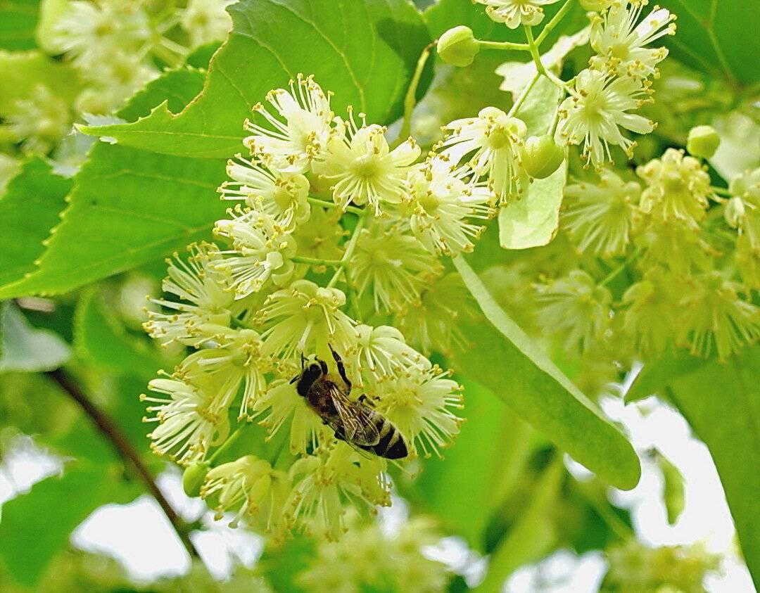 Польза и вред липы, ее цветков и листьев, рецепты применения