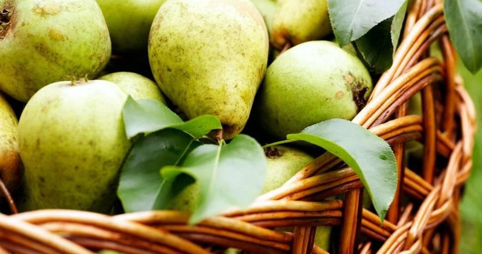 Польза и вред груши для здоровья организма