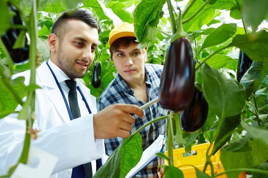 Баклажаны — польза и вред для здоровья человека