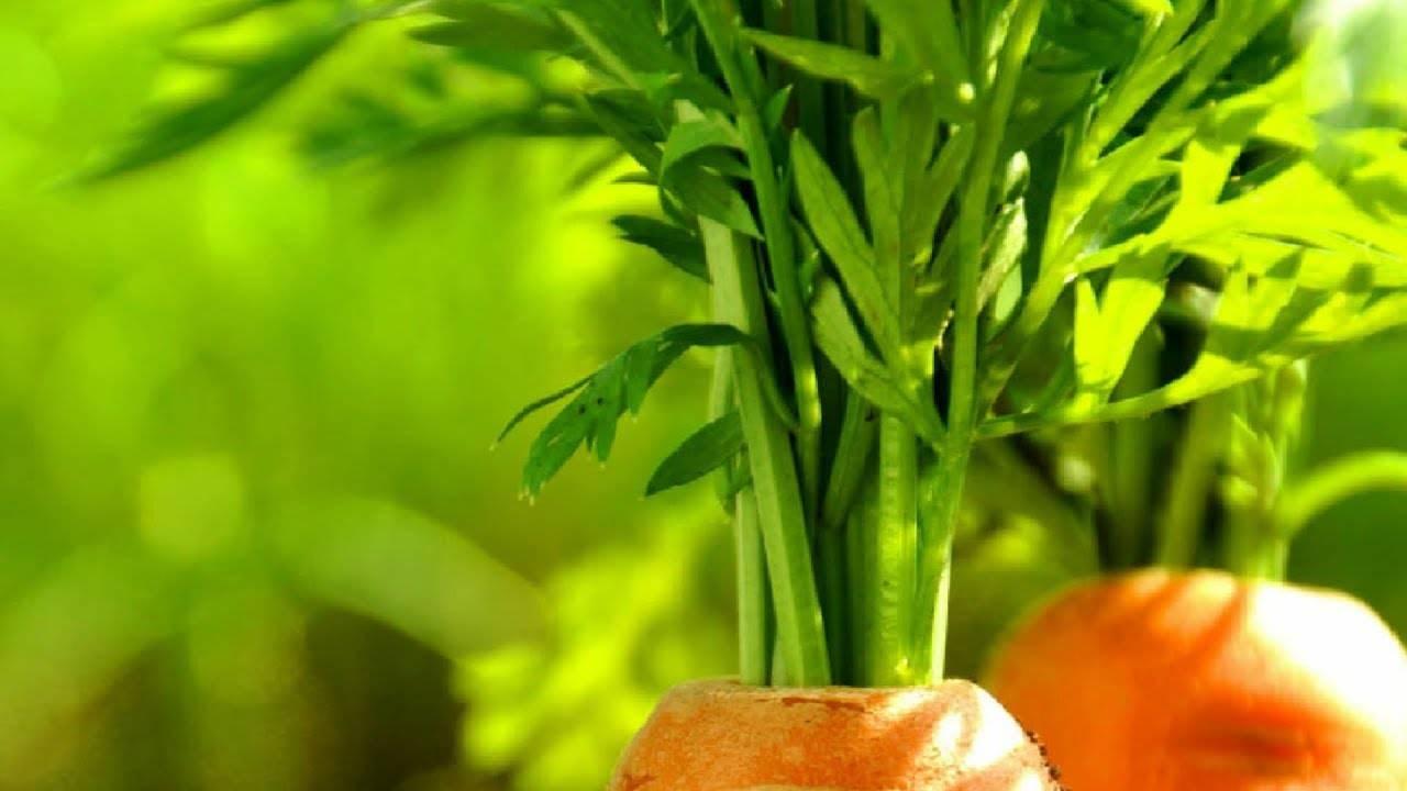 Польза и вред морковной ботвы для организма