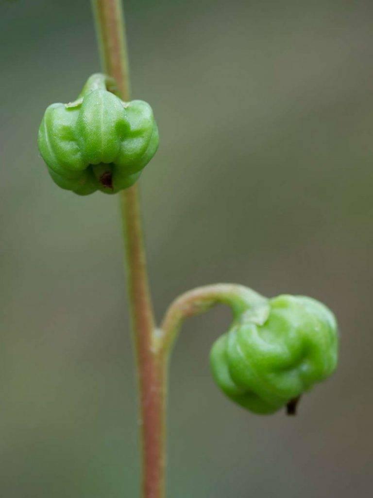 Лечебные свойства травы грушанка и применение для женщин в гинекологии
