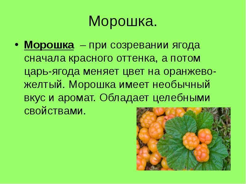 Лечебные свойства морошки и правила употребления царской ягоды