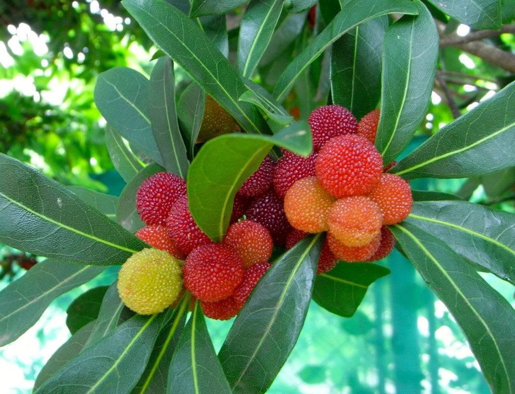 Что такое личи фрукт, полезные свойства