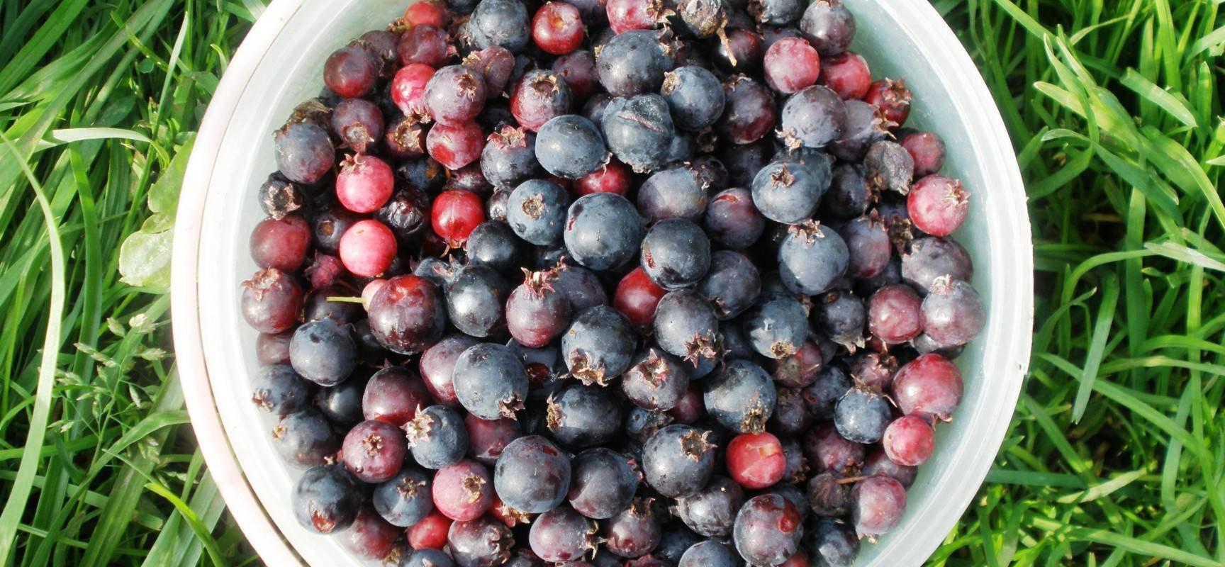 Чем может навредить ирга, полезные свойства растения и как правильно употреблять ягоды