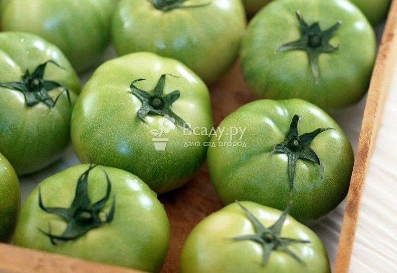 Польза и вред помидоров для организма. при диабете. опасность зеленых помидоров
