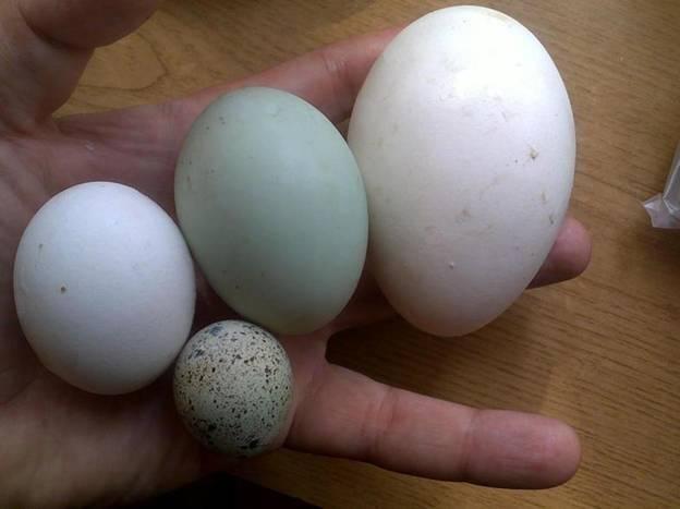 Гусиные яйца польза и вред как готовить