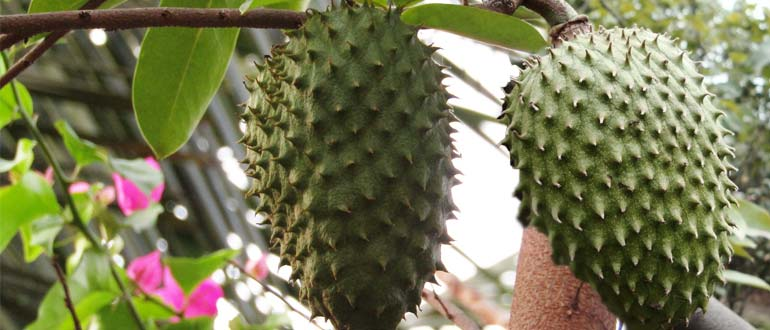 Сметанное яблоко (аннона колючая, гуанабана, саусеп): что это за фрукт, где растет и как выглядит, польза и вред