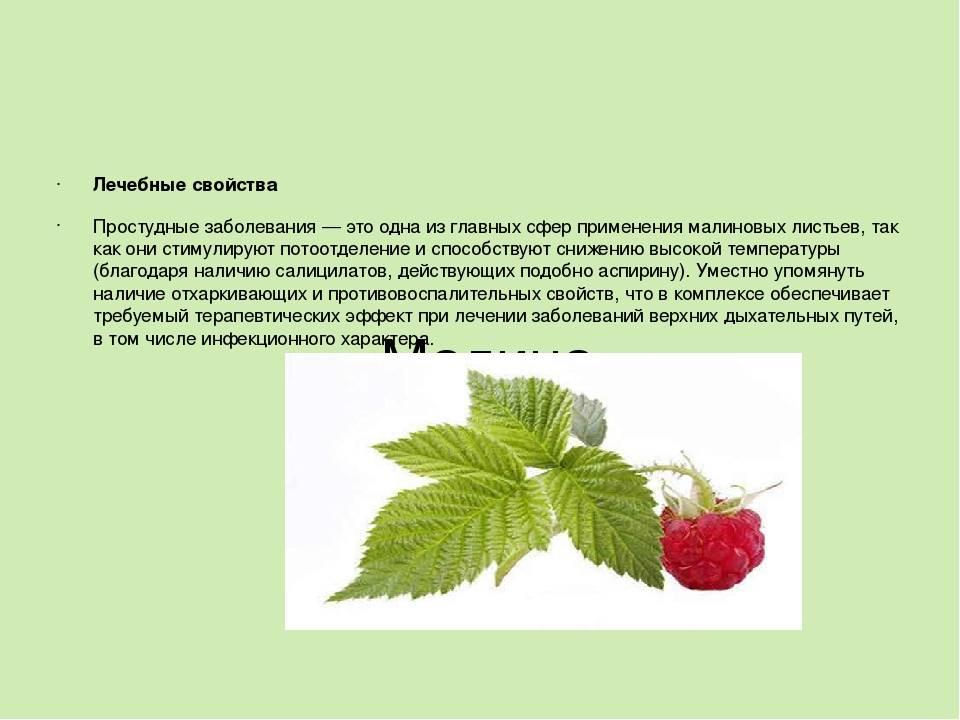 Листья малины: полезные свойства и противопоказания