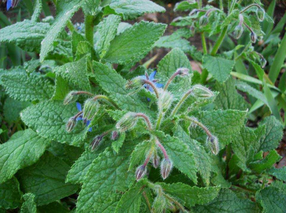Бораго польза и вред. огуречная трава (бораго): выращивание, полезные свойства, применение