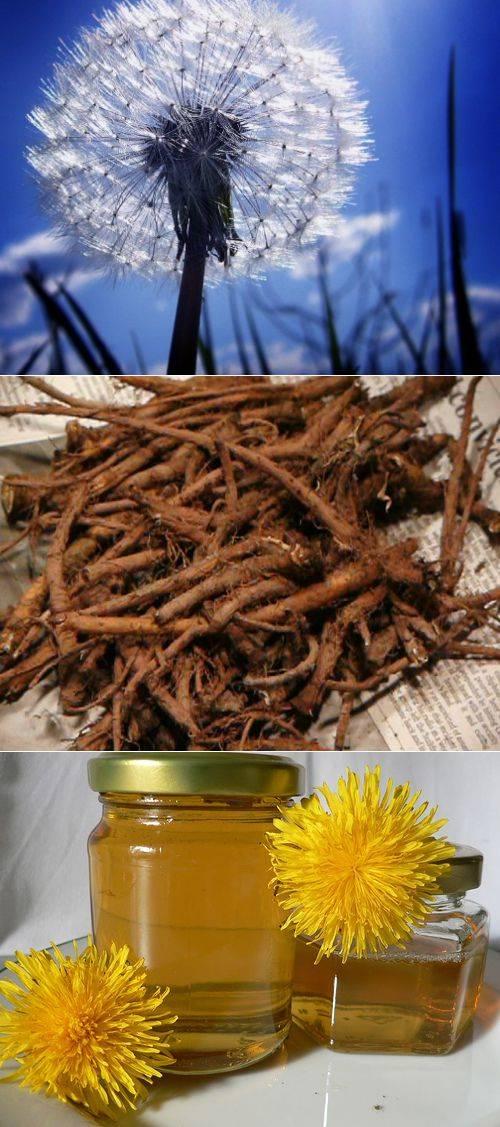 Лечебные свойства корня одуванчика. чем полезен для женщин, рецепты применение в народной медицине, противопоказания
