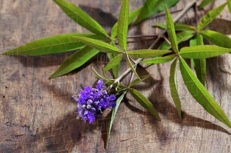 Лечебные свойства травы витекс и ее применение в народной медицине