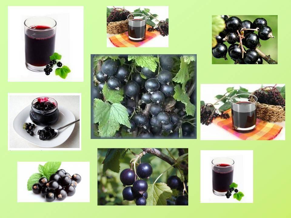 Польза и вред черной смородины для здоровья. какие витамины в черной смородине