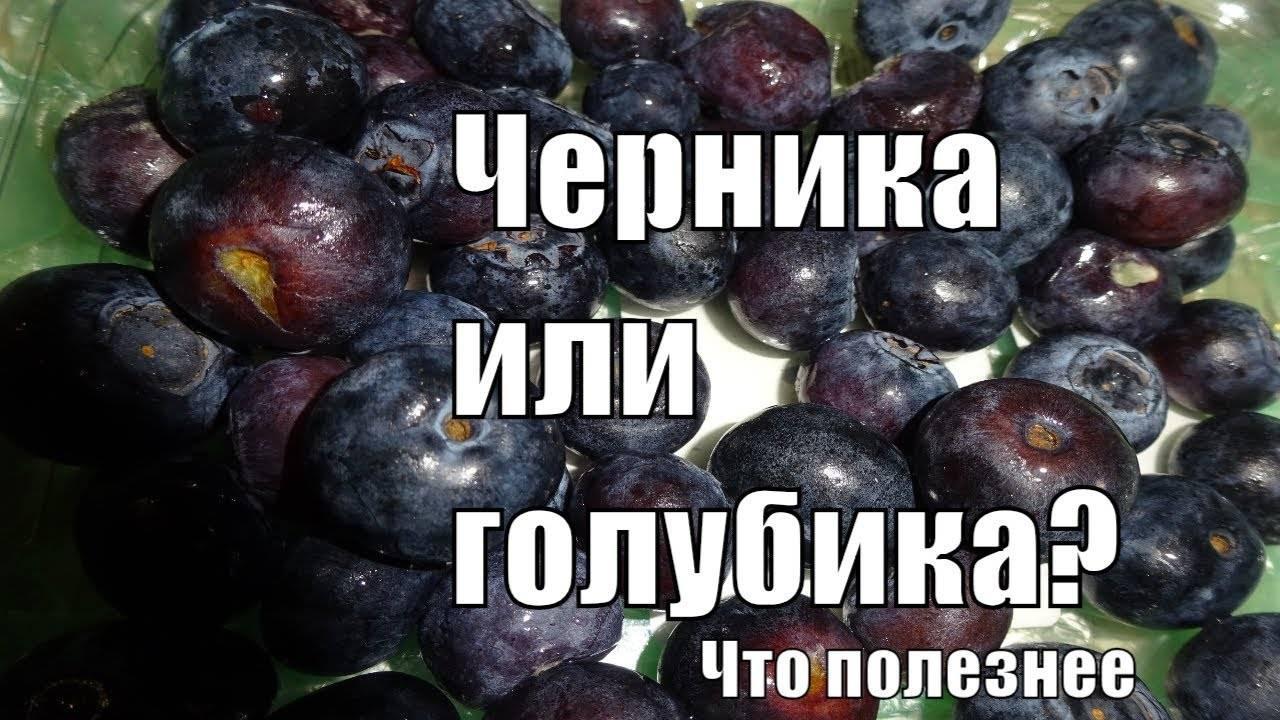 Голубика — полезные свойства ягоды молодости