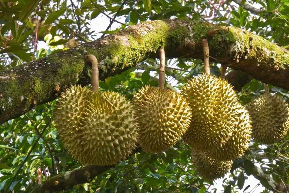 Дуриан фрукт: польза для организма