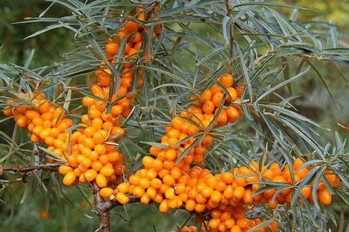 Лечебные свойства облепихи (ягод, листьев, коры, веточек)