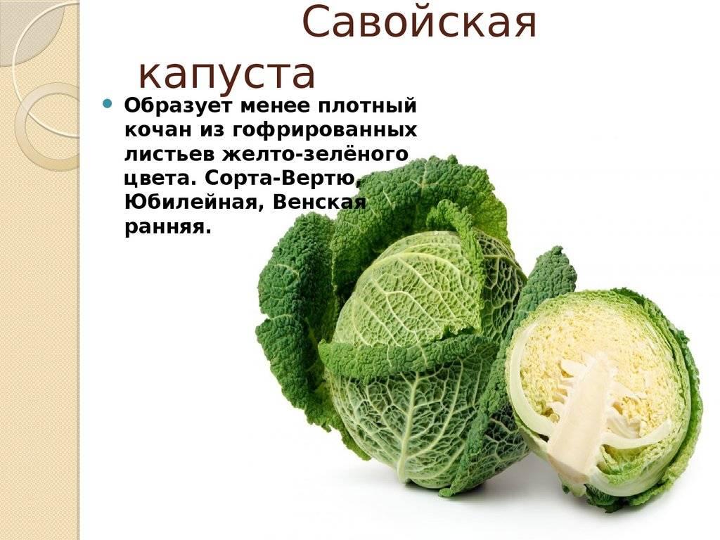 Савойская капуста: польза и вред, применение, фото