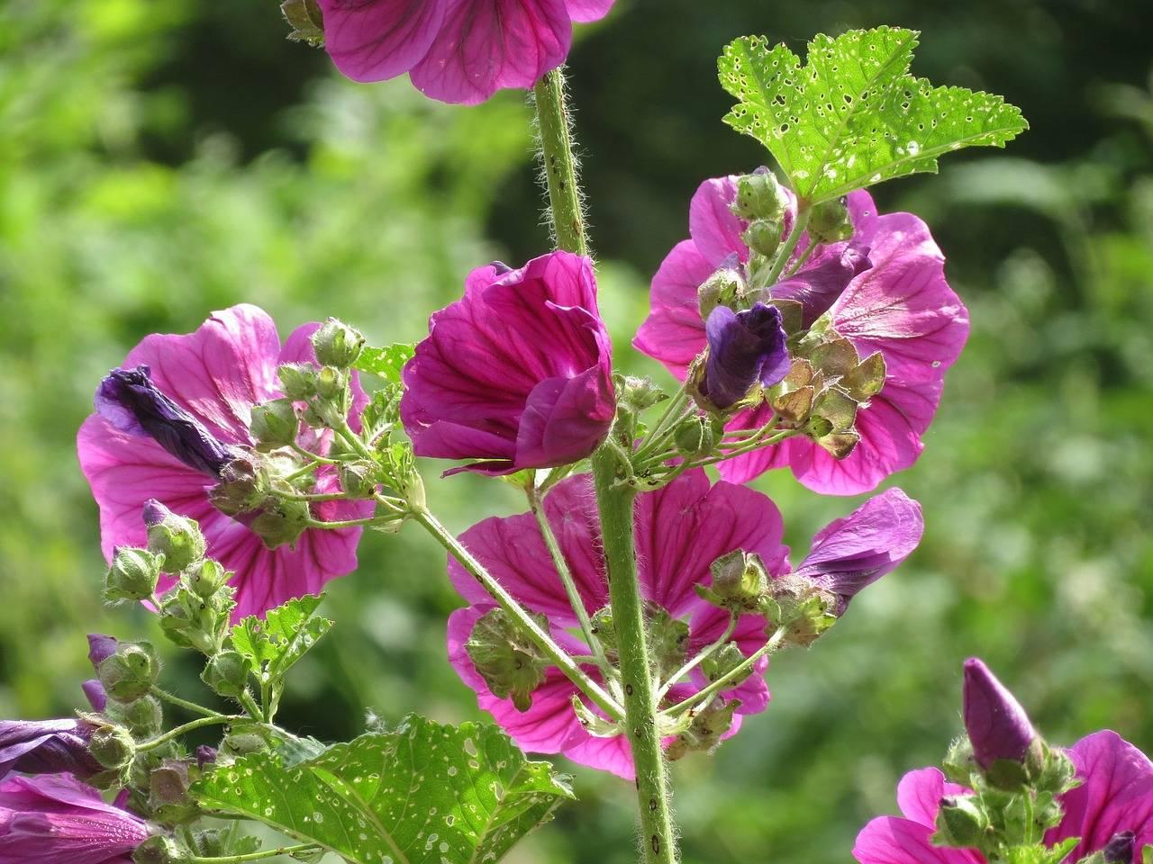 Лечебные свойства травы просвирник и ее применение в народной медицине