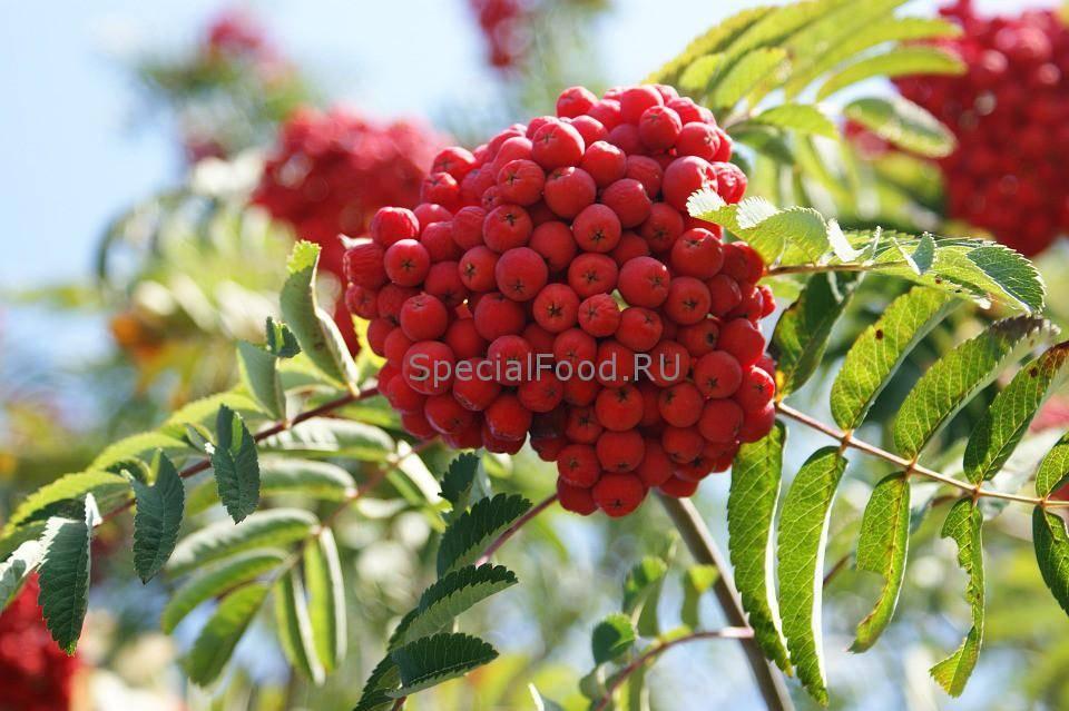 Красная рябина: польза и вред для здоровья, способы применения, рецепты красоты