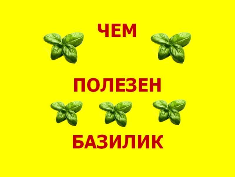 Польза и вред травы базилик для здоровья, применение