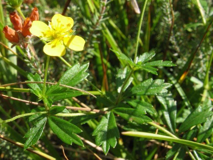 Применение корня калгана в народной медицине, лечебные свойства и противопоказания