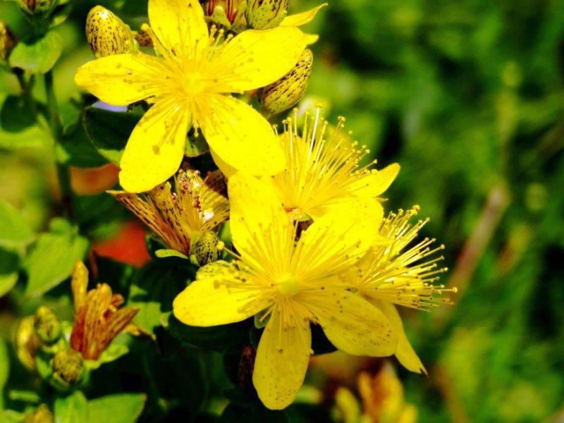 Зверобой: полезные свойства, применение, рецепты, описание и фото растения