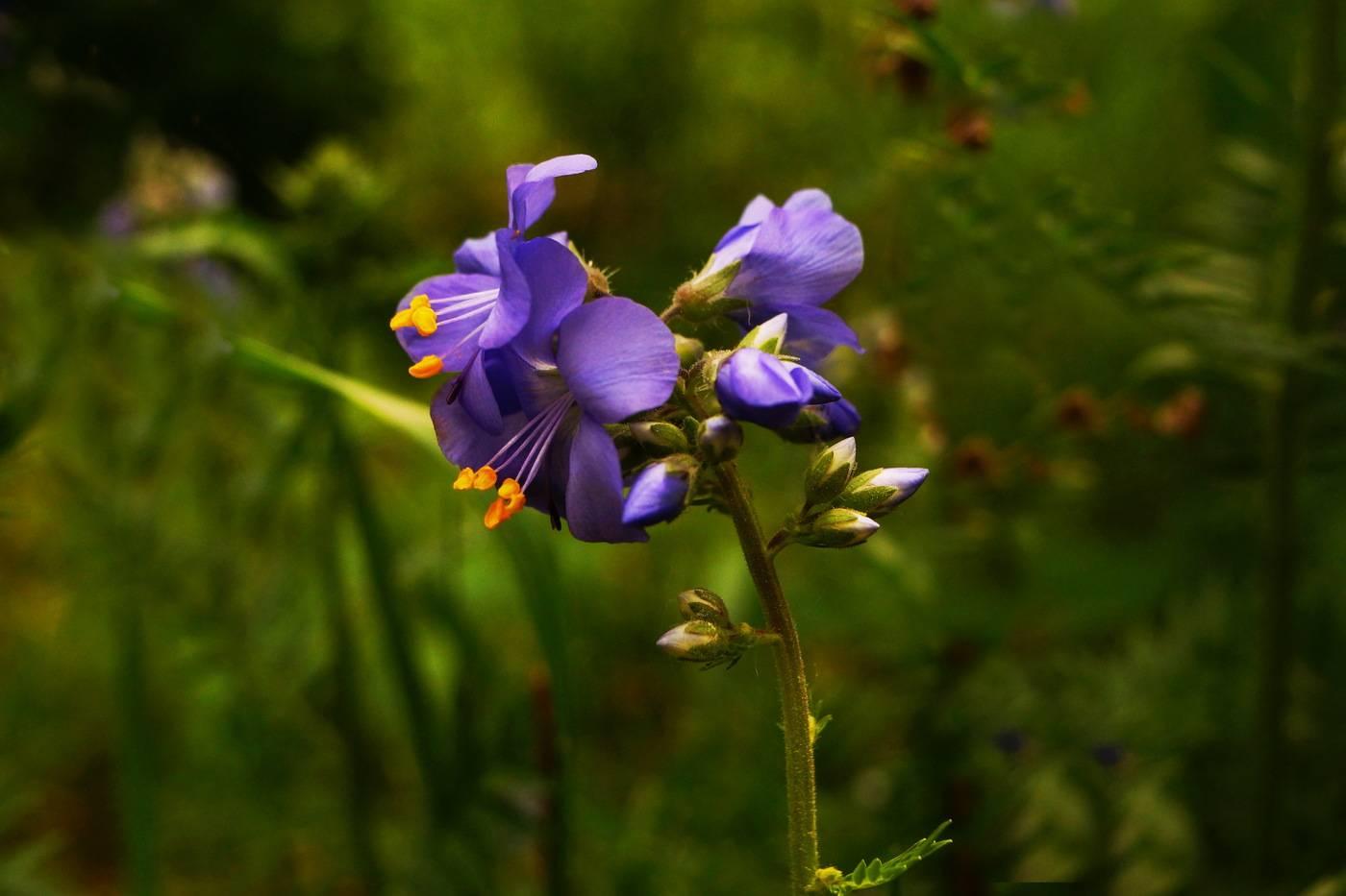 Синюха голубая — применение и противопоказания