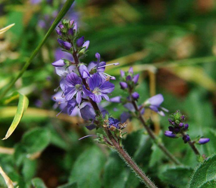 Трава вероника: лечебные свойства и противопоказания