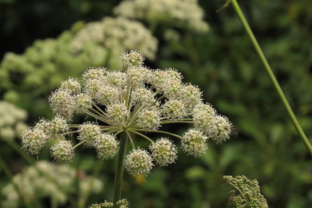 Лекарственный дягиль: как быть здоровым при помощи простой травы?