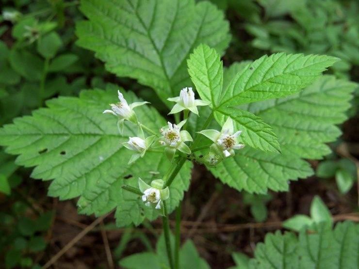 Костяника — описание, польза и вред ягоды для организма, состав и калорийность, фото