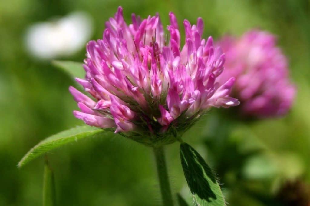 Клевер луговой— лечебные свойства, противопоказания и отзывы