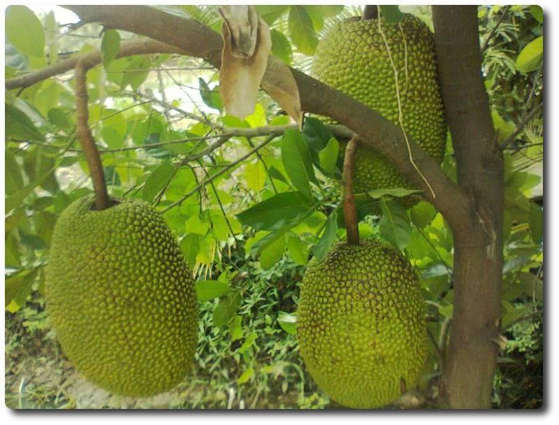 Джекфрут: польза и вред для организма    джек фрукт вкус