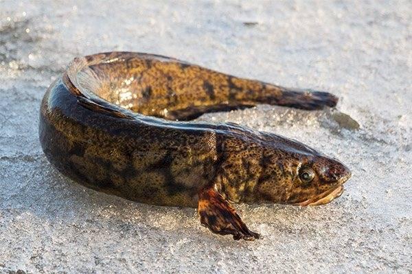 Рыба налим — описание и полезные свойства