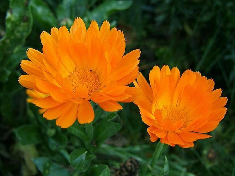 Календула — лечебные свойства и противопоказания