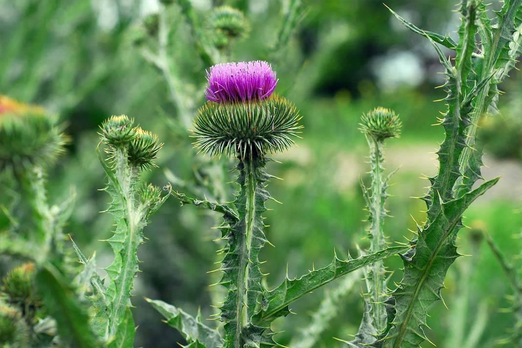 Татарник: фото растения, лечебные свойства и противопоказания