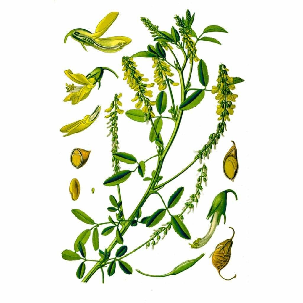 Лечебные свойства травы донника и противопоказания