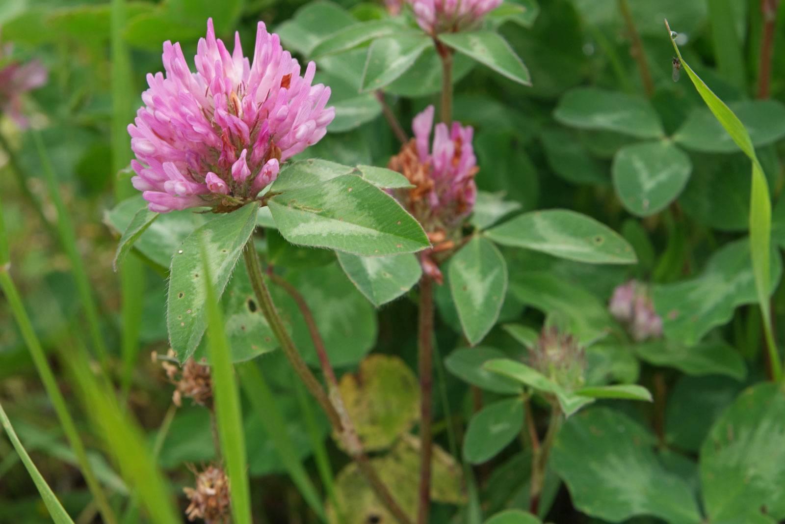 Лечебные свойства цветков красного клевера
