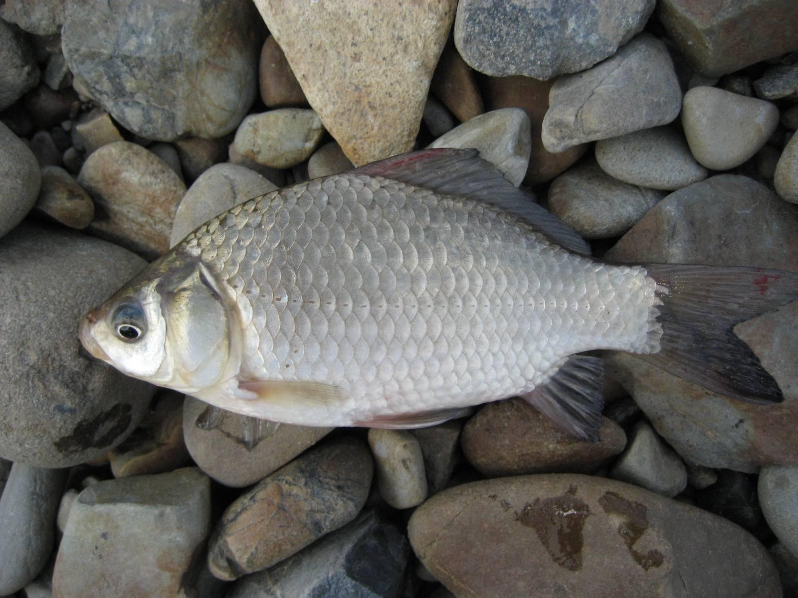 Белый амур: описание рыбы и способы ловли