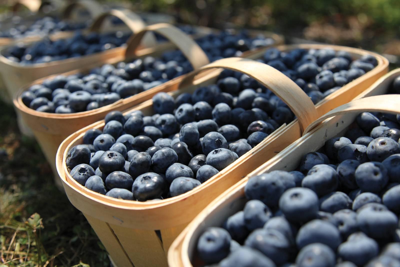 Голубика: польза и вред для организма, состав, рецепты