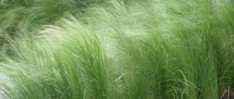 Ковыль полевой лечебные свойства