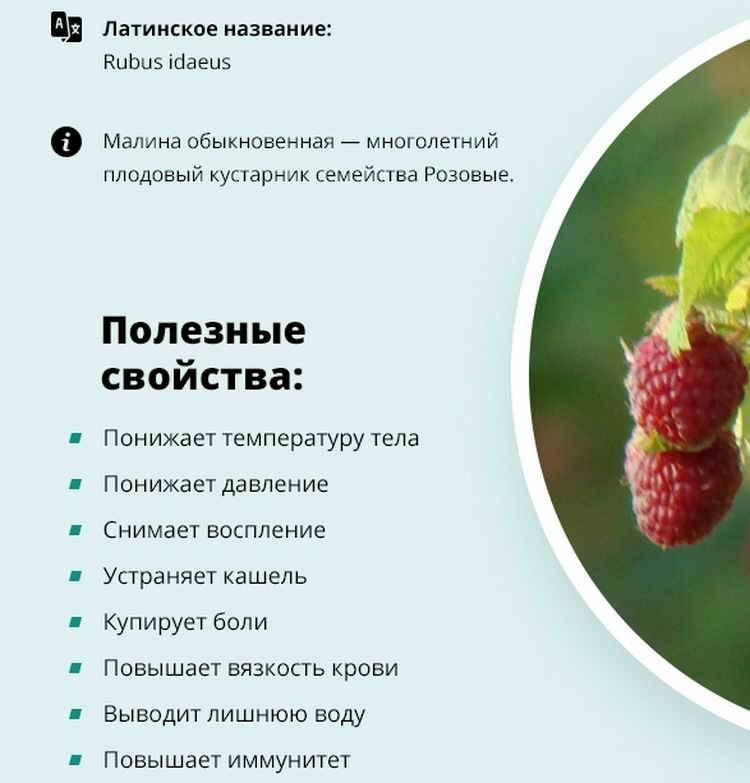 Малина: полезные свойства и противопоказания, калорийность