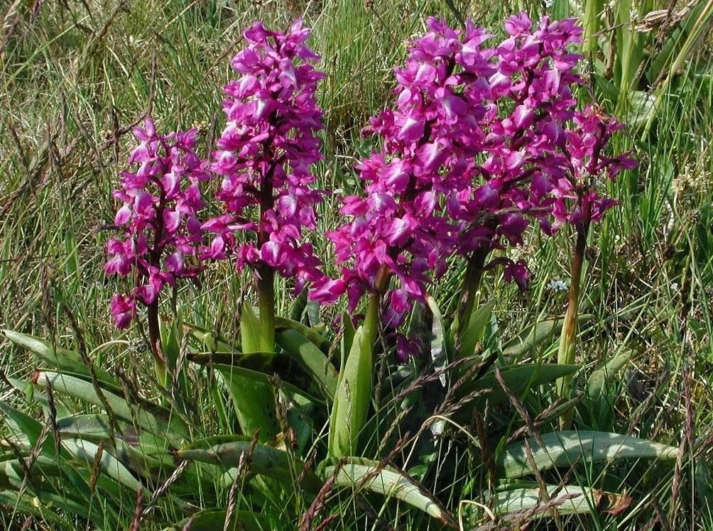 Ятрышник — целебный брат орхидеи