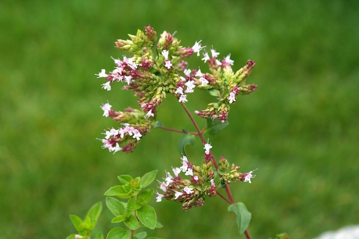 Душица (орегано): польза и вред, применение, описание, фото растения