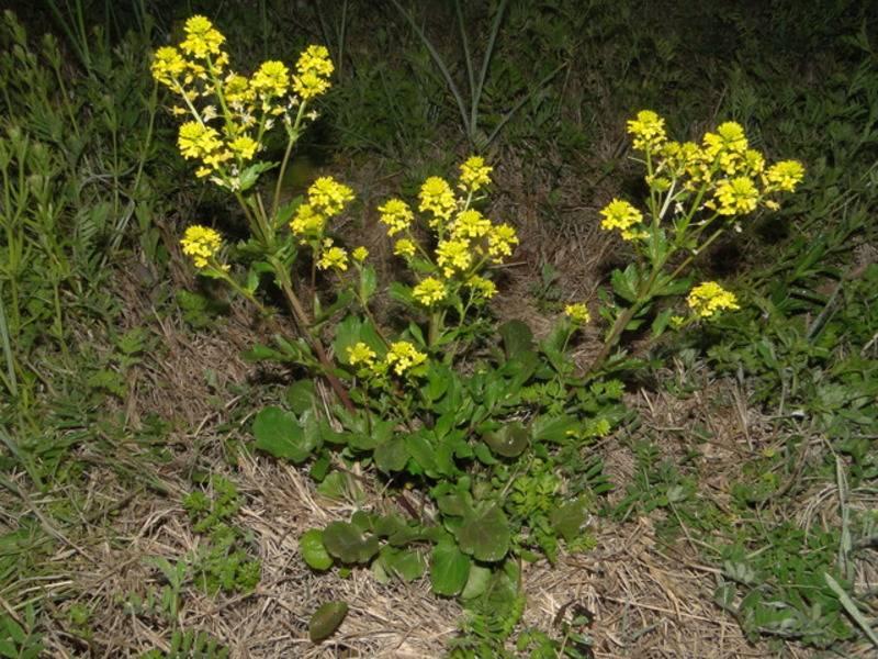 Сурепка: полезные свойства, противопоказания, фото растения