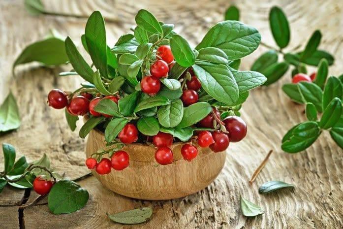 Листья брусники: лечебные свойства от 1001 болезни и противопоказания